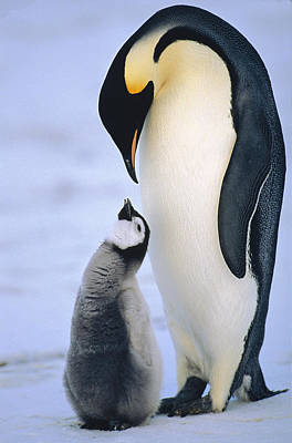 Submissive Photograph - Emperor Penguin Adult With Chick by Konrad Wothe