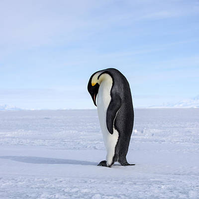 Antarctica Photograph - Emperor Penguin by Alasdair Turner