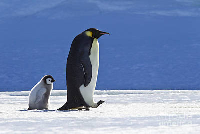 Photograph - Emperor Penguin And Chick by Jean-Louis Klein and Marie-Luce Hubert