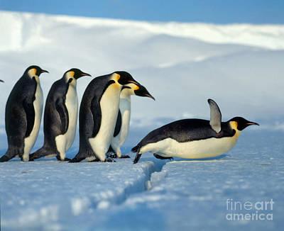 Photograph - Emperor Penguin Aptenodytes Forsteri by Hans Reinhard