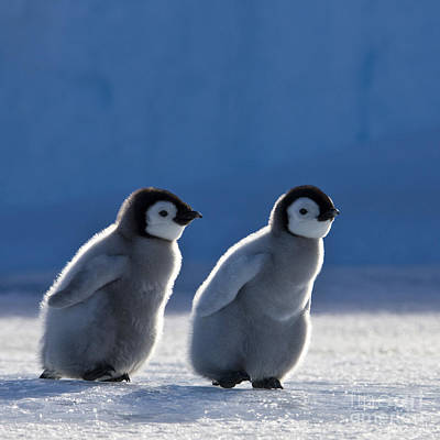 Photograph - Emperor Penguin Chicks by Jean-Louis Klein and Marie-Luce Hubert