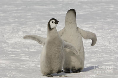 Photograph - Emperor Penguin Chicks by John Shaw
