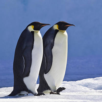 Photograph - Emperor Penguin Couple by Jean-Louis Klein and Marie-Luce Hubert