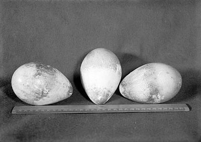 Emperor Penguin Eggs Print by Scott Polar Research Institute