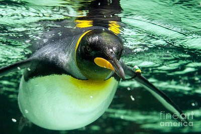 Photograph - King Penguin by Ray Warren