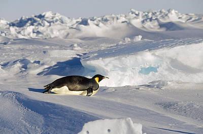 Aptenodytes Sp Photograph - Emperor Penguin Tobogganing Antarctica by Konrad Wothe