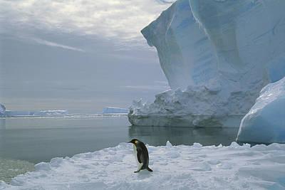 Emperor Penguin Walking Weddell Sea Print by Tui De Roy