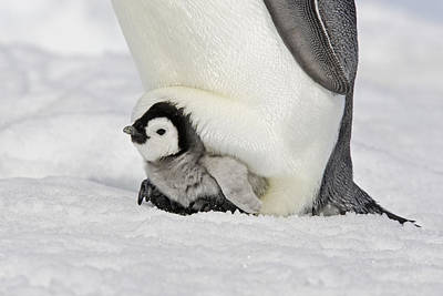 Emperor Penguin With Chick Art Print by M. Watson