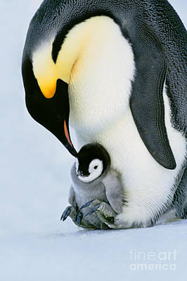 Emperor Penguin With Chick On Feet Art Print by Frans Lanting/MINT Images