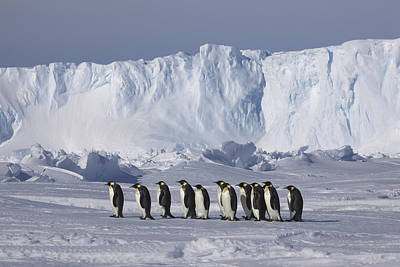 Iceberg Photograph - Emperor Penguins Walking Antarctica by Frederique Olivier