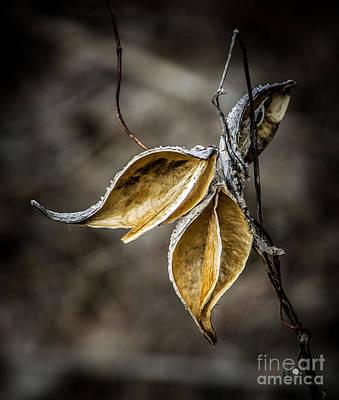 Photograph - Empty Milkweed Pods by Ronald Grogan