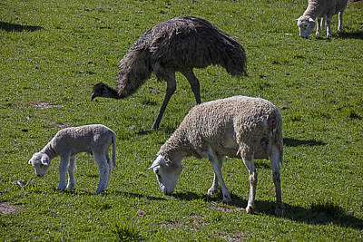 Emu Photograph - Emu And Sheep by Garry Gay