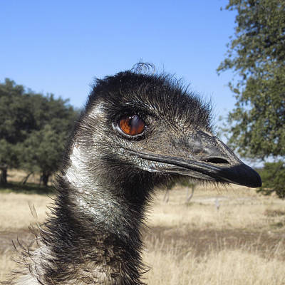 Photograph - Emu by Sandra Selle Rodriguez