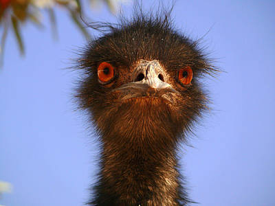 Photograph - Emu Upfront by Evelyn Tambour