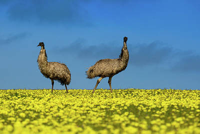 Emu Wall Art - Photograph - Emus In A Canola Field by Torsten Velden