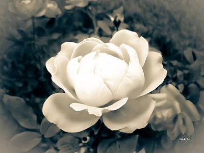 Photograph - Enchanted Rose by Connie Dye