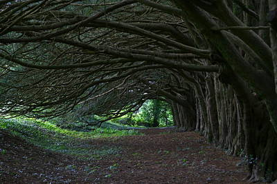 Photograph - Enchanted Yews by Denise Mazzocco