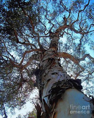 Encinitas Eucalyptus Art Print