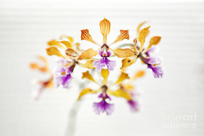 Encyclia Orchid Art Print by Tim Gainey