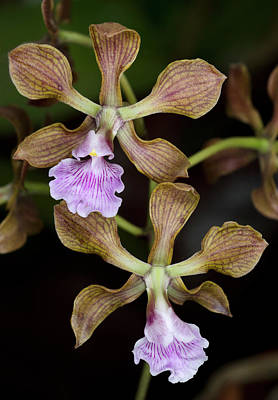 Hothouses Photograph - Encyclia Orchids by Nigel Downer