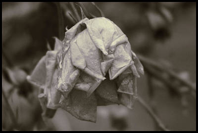 Photograph - End Of A Rose by Ron Roberts