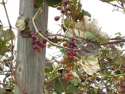Photograph - End Of Season Grapes by Jennifer E Doll