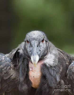 Condor Wall Art - Photograph - Endangered Andean Condor Portrait by Brandon Alms