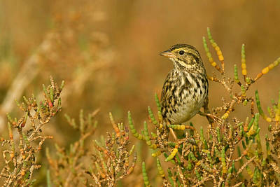 Photograph - Endangered Beldings Savannah Sparrow - Huntington Beach California by Ram Vasudev