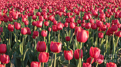 Tulips Photograph - Endless Red Tulips Canvas by Carol Groenen