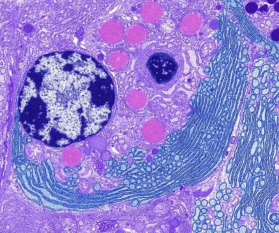 Er Photograph - Endoplasmic Reticulum by Steve Gschmeissner