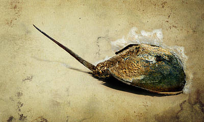 Horseshoe Crab Photograph - Endurance by Rebecca Sherman
