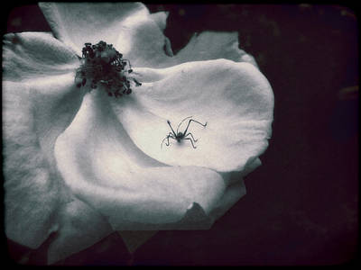 Photograph - English Rose With Visiting Spider by Louise Kumpf