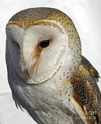 English Barn Owl Art Print