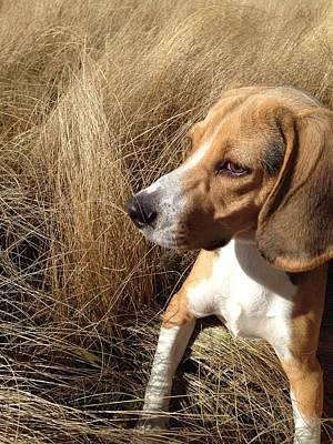Foxhound Photograph - Beagle by Julio Lopez