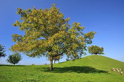 Black Walnut Photograph - English Black Walnut Tree Switzerland by Thomas Marent