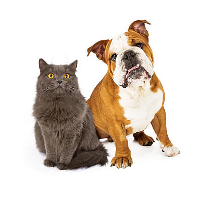 English Bulldog And Gray Cat Art Print by Susan Schmitz