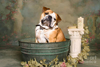 English Bulldog Portrait Art Print by James BO  Insogna