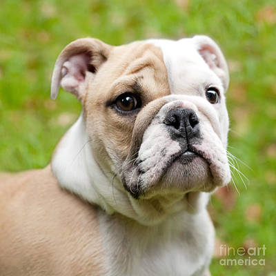 Cute Dog Digital Art - English Bulldog Puppy by Natalie Kinnear