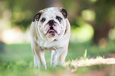 English Bulldog Puppy Walking Outdoors Art Print by Purple Collar Pet Photography
