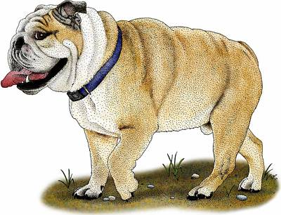 English Bulldog Drawing Photograph - English Bulldog by Roger Hall
