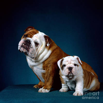 Bulldog Puppies Photograph - English Bulldogs by Barbara von Hoffmann/Okapia