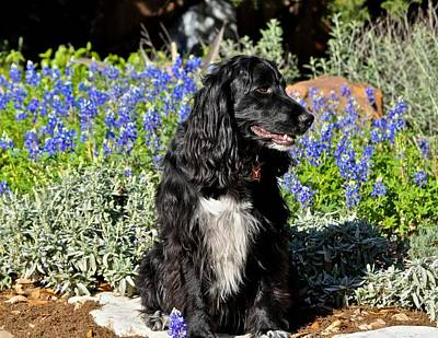 Photograph - English Cocker Spaniel And Bluebonnet Flowers by Kristina Deane