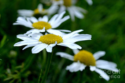 Photograph - English Daisies by Scott Lyons