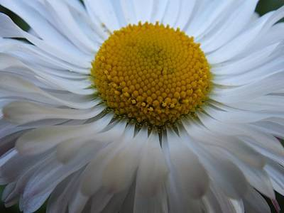 Photograph - English Daisy by Gene Cyr