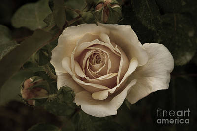 Photograph - English Garden Rose by Chris Scroggins