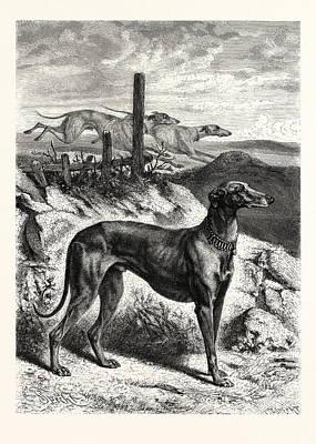 English Greyhounds Art Print