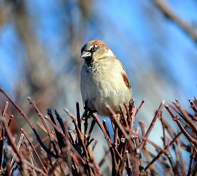 Photograph - English House Sparrow by Deena Stoddard
