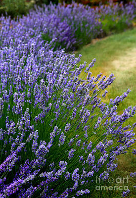 Photograph - English Lavender by Deena Otterstetter