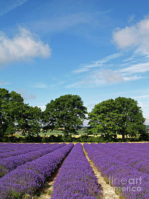 English Lavender Fields Near Selborne Hampshire Art Print by Alex Cassels