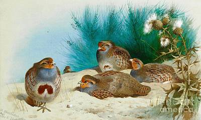 English Partridge With Gorse And Thistles Art Print by Pg Reproductions